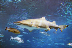 Shark. A shark is swimming in the deep water Royalty Free Stock Photography