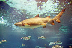 Shark. A shark is swimming in the deep water Royalty Free Stock Photo