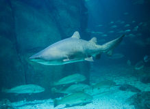Shark swimming in fish tank Stock Images