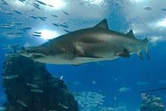 Shark swimming in Lisbon Aquarium Stock Images