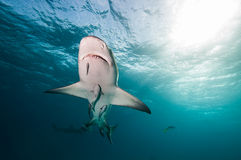 A shark swimming overhead Royalty Free Stock Images