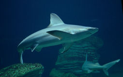 Shark swimming in sea Royalty Free Stock Photography