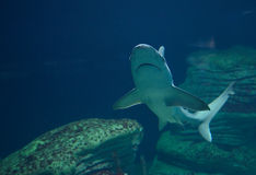 Shark swimming in sea. Underwater view of shark swimming in blue sea or ocean royalty free stock photo