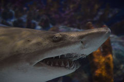 Shark Royalty Free Stock Photos