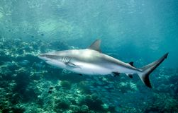 Shark swimming underwater. A grey reef shark swimming along the reef edge Stock Photos