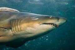Shark swimming underwater. Portrait of shark swimming underwater through school of fish Royalty Free Stock Photo