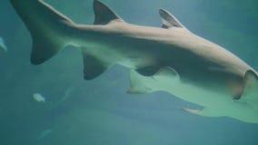 Shark swimming underwater in oceanarium. Underwater sea life and wild animal