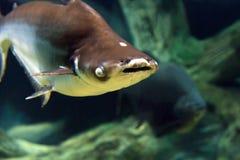 Shark swimming underwater. Shark swimming along underwater close up stock images