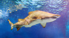 Shark swims in  water Stock Images