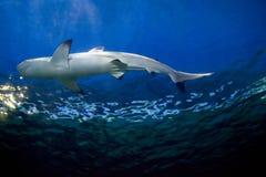 Shark Tank. A shark in a tank Stock Images