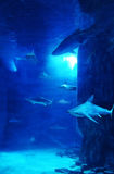 Shark Tank. Large tank with many sharks Royalty Free Stock Images
