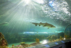 Shark tank at Ripley's Aquarium Canada Royalty Free Stock Image
