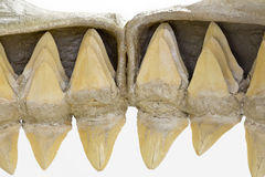 Shark teeth. The inside of the mouth of a shark, showing the rows of teeth. If a shark loses a tooth, a replacemnt spins into place to fill the gap. Isolated on Stock Photo