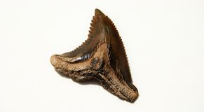Shark tooth Stock Images