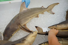 Shark for touch Royalty Free Stock Image