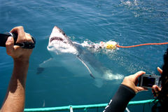 Shark tourism. Tourists photographing a great white shark from a boat in the sea stock photography