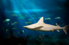 Shark Under Water stock image