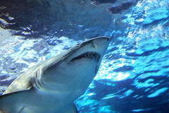 Shark Under Water. Closeup portrait of shark moving under blue water Royalty Free Stock Photo