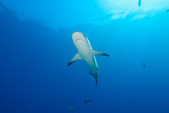 Shark underside Royalty Free Stock Images