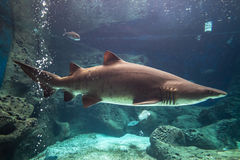 Shark underwater. In natural aquarium royalty free stock photography