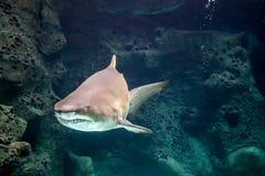 Shark underwater. In natural aquarium Stock Images