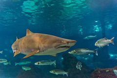 Shark underwater. In natural aquarium Royalty Free Stock Images