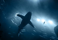 Shark underwater in blue. One large grey shark underwater seen from below silhouetted against bright lights stock image