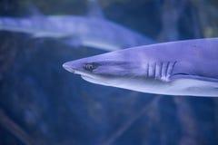 Shark underwater headshot royalty free stock photos