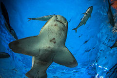 Shark underwater in natural aquarium Stock Photos