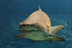 Shark. Underwater in natural aquarium, photo made in Crete Aquarium Stock Image