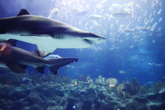 Shark underwater. Shark and tropical fish underwater in natural aquarium Stock Photo