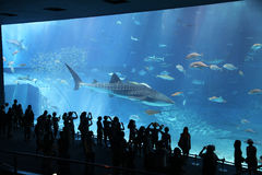Shark Watchers. People watching the whale shark among other fish at the Churaumi Aquarium in Okinawa, Japan Royalty Free Stock Photos