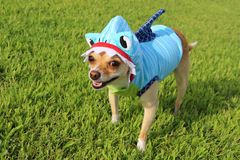 Shark Week Chihuahua !. Chihuahua wearing a shark outfit Royalty Free Stock Photos
