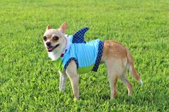 Shark Week Chihuahua !. Chihuahua wearing a shark outfit Stock Photography