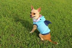 Shark Week Chihuahua !. Chihuahua wearing a shark outfit Stock Photos