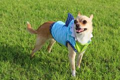 Shark Week Chihuahua !. Chihuahua wearing a shark outfit Royalty Free Stock Photography