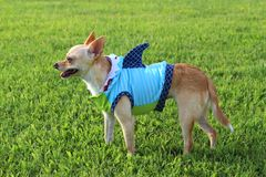 Shark Week Chihuahua !. Chihuahua wearing a shark outfit Royalty Free Stock Images