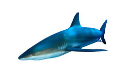 Shark on white Royalty Free Stock Images