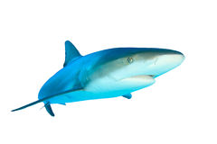 Shark on white background. Caribbean Reef Shark (Carcharhinus perezii) isolated on white background Stock Images