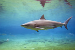 SharkA. Black Whaler Shark (Carcharhinus obscurus) swimming in clear water Stock Photos