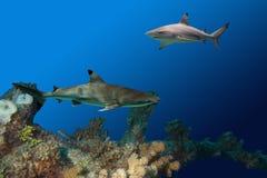 Sharkbommie Stock Photos