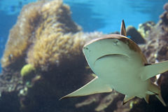 Sharkc. Blacktip Reef Shark (Carcharhinus melanopterus) swimming over tropical coral reef stock photos