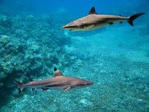 Sharkes. Blacktip Reef Shark (Carcharhinus melanopterus) swimming over tropical coral reef stock image