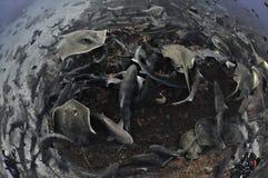 Sharknado frenzy in clear waters of Japan. Sharknado feeding frenzy in Japan royalty free stock photo