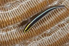 Sharknose Goby appollaiato su Brain Coral - il Bonaire Fotografia Stock Libera da Diritti