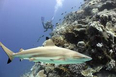 Sharkreef. Blacktip Reef Shark (Carcharhinus melanopterus) swimming over tropical coral reef, with Scuba diver in background royalty free stock photos