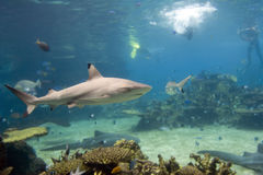 Sharks. Blacktip Reef Shark (Carcharhinus melanopterus) swimming over reef, with skindivers in background Royalty Free Stock Images