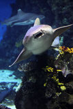 Sharks Royalty Free Stock Photos