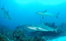 Sharks. Three predatory gray reef sharks stock images