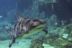 Sharks. Shark cruising Royalty Free Stock Photography
